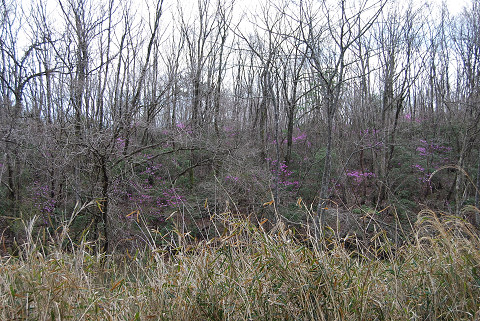 雑木林にミツバツツジ群生