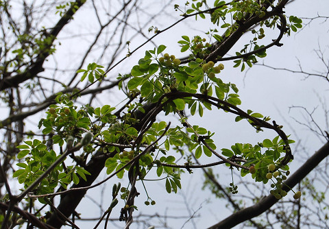 ゴヨウアケビ白の花