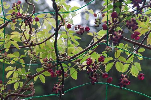 ゴヨウアケビ赤い花