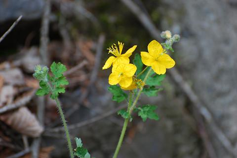 ダイコンソウの黄色い花が