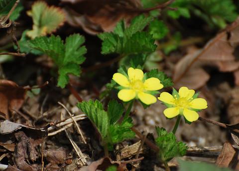 ヘビイチゴの黄色い花が