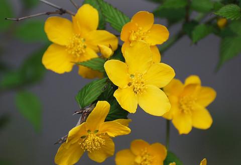 ヤマブキの花はきれい