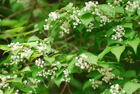 オトコヨウゾメの花が