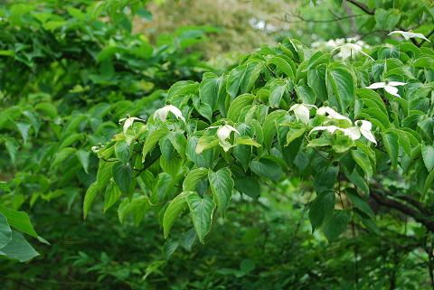 ヤマボウシの白い花が
