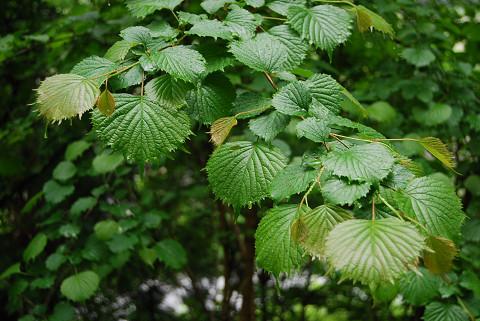 ミヤマガマズミの特徴ある葉