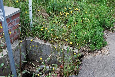 コウゾリナの黄色い花