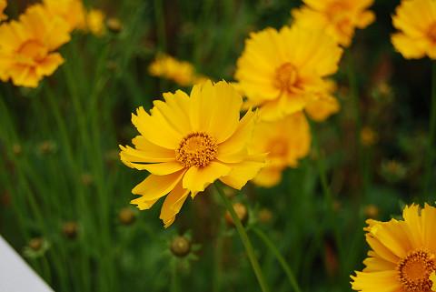 ブタナの黄色い花