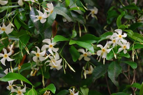 タイカカズラの花は