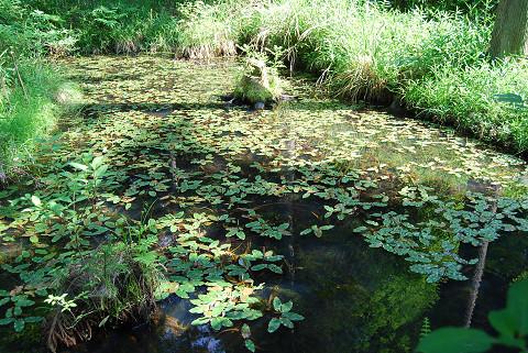 池にヒルムシロが