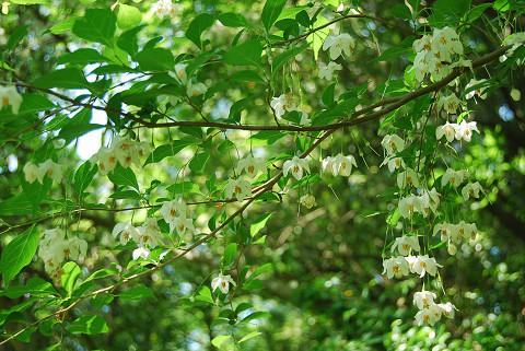 エゴノキの花がいっぱい