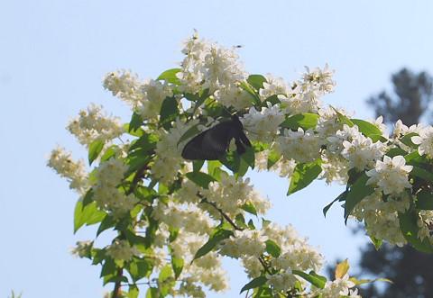 守義ウツギの花にチョウ