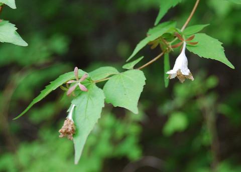 ツクバネウツギの花が