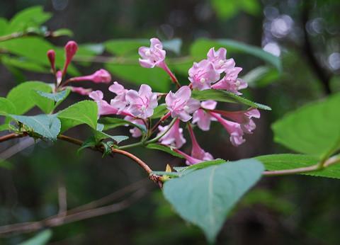タニウツギの美しい花