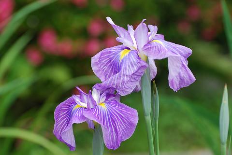 ショウブの花1