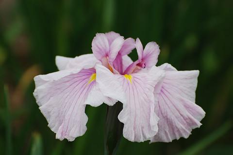 ショウブの花2