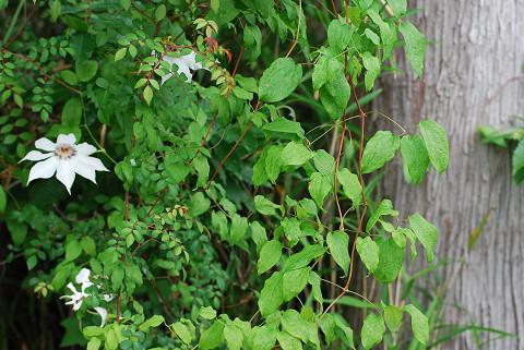 カザグルマの葉は