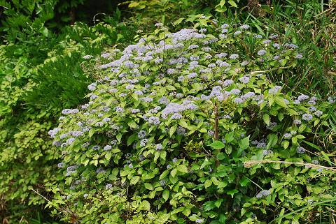 見事なコアジサイの花