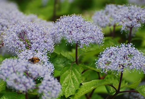コアジサイの花はきれい