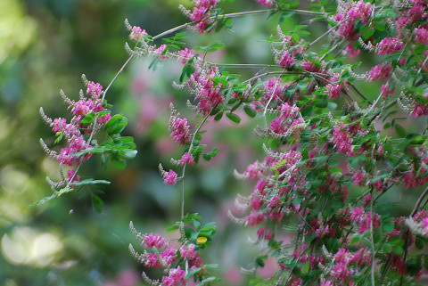 咲いたコマツナギの花