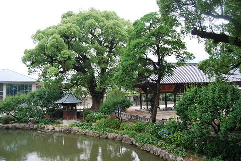 クスノキの巨木が