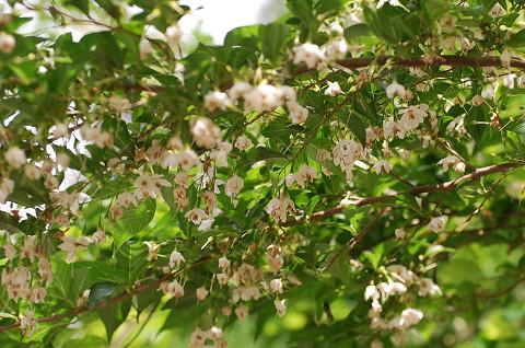エゴノキ花がいっぱい