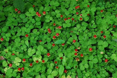 ヘビイチゴの赤い実は