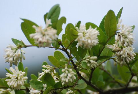 イボタノキの白い花は