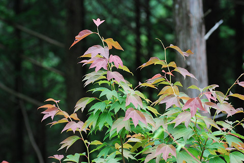 シロモジの若葉の紅葉が