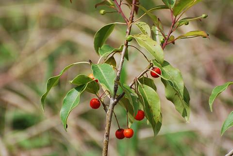 ソヨゴの幼木が