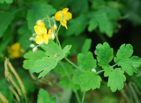 クサノオウの黄色い花は
