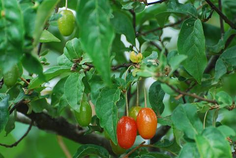ナツグミの赤い実は