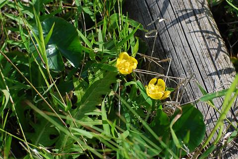 黄色いアサザの花が1