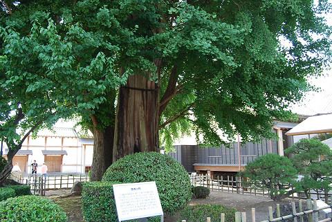杉の巨木が