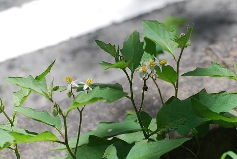 ワルナスビに花が咲いた