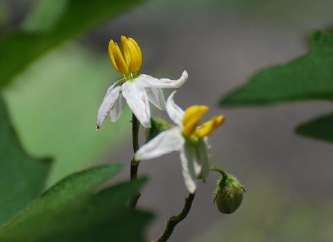 ワルナスビの花は