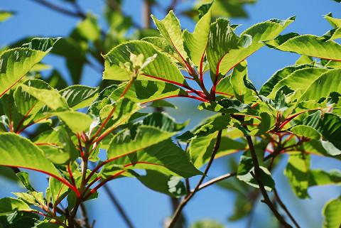 リョウブの葉柄が赤い