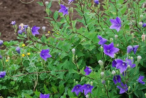 キコウの花は美しい