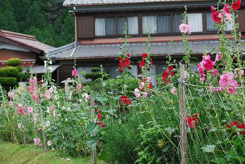 タチアオイの花園が