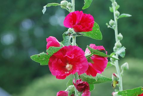 真っ赤な花は