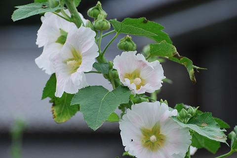 真っ白の花は