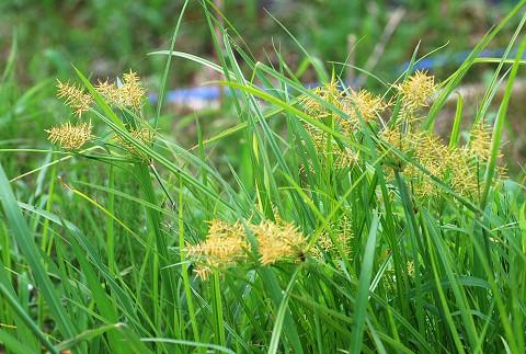 カヤツリグサの花1