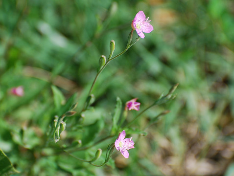 ピンクの花は