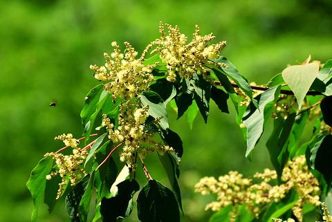 アカメガシワの花アップ