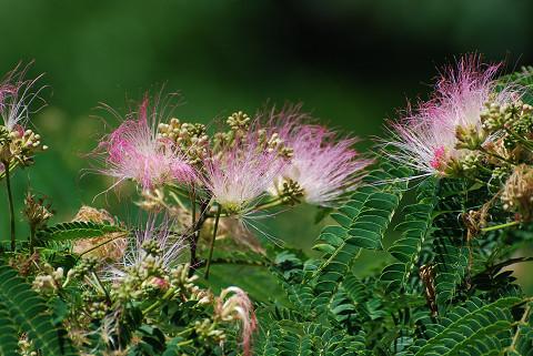 ネムノキの花をアップ