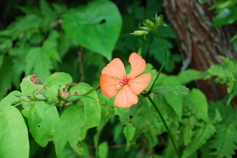 フシグロセンノウの赤い花が