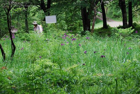 面の木湿地のノハナショウブは