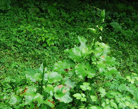 ウバユリの大きな葉