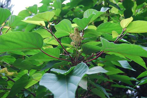 アカメガシワの雌花は美しい