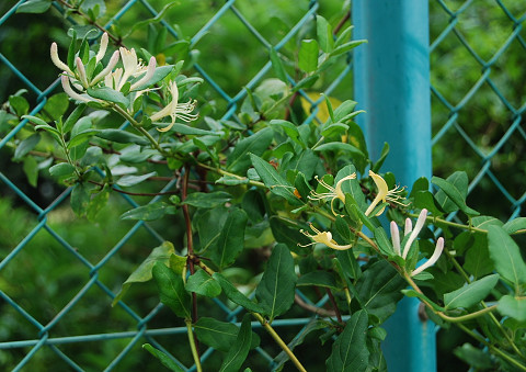 スイカズラが咲いた