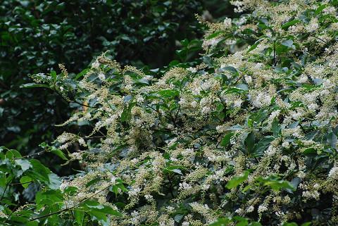 リョウブの花がいっぱい